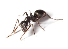 Ants Pest Control Leatherhead
