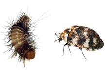 Carpet Beetles Pest Control Leatherhead