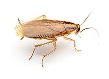 German Cockroach Pest Control Leatherhead