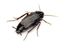 Oriental Cockroach Pest Control Leatherhead