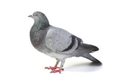 Pigeons Pest Control Leatherhead