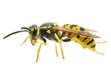 Wasps Pest Control Leatherhead