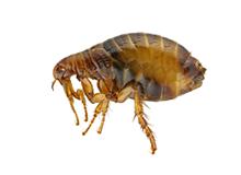 Fleas Pest Control Leatherhead
