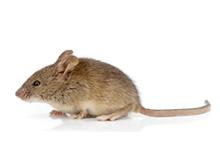 Mice Pest Control Leatherhead