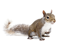 Squirrels Pest Control Leatherhead